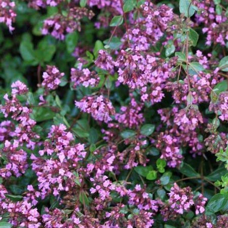 Buy Origanum laevigatum 'Hopleys' Oregano Hopley's Variety   Herb Plant for Sale in 1 Litre Pot