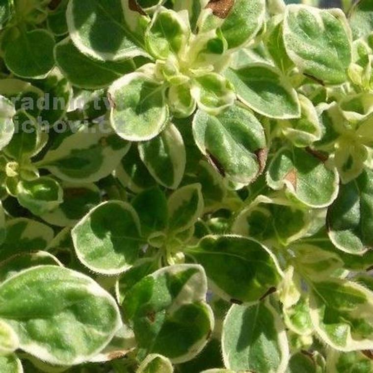 Buy Origanum Vulgare 'Polyphant' Oregano Polyphant   Herb Plant for Sale in 9cm Pot