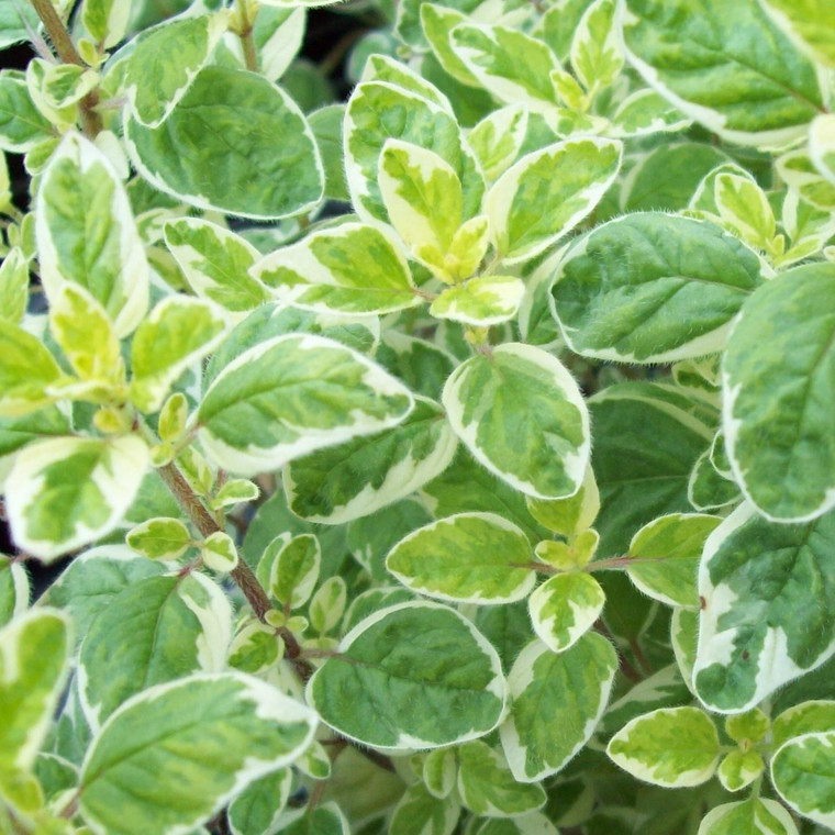 Buy Origanum vulgare 'Country Cream' Oregano Country Cream | Herb Plant for Sale in 9cm Pot