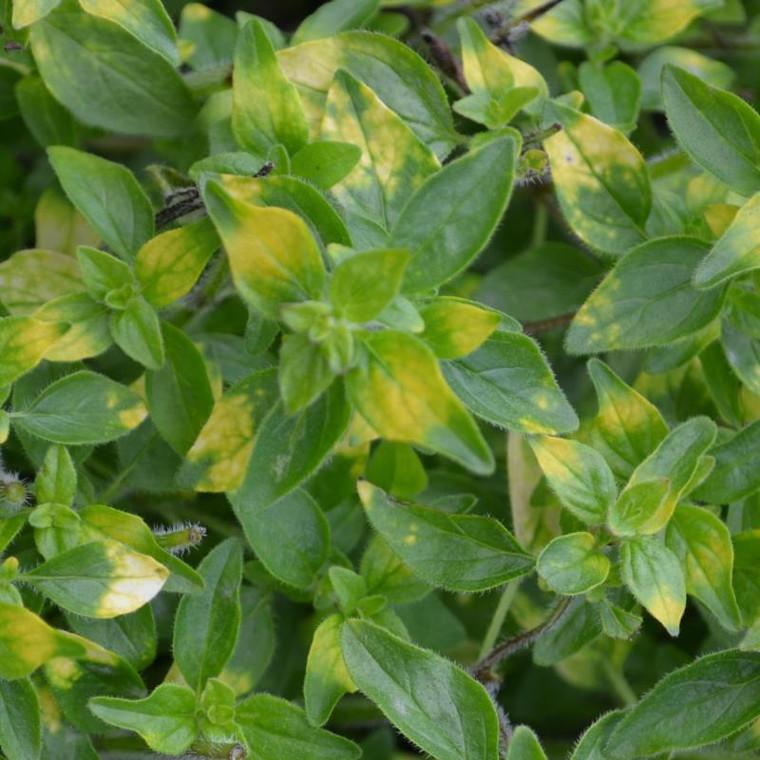 Buy Origanum 'Gold Splash' Oregano Gold Splash   Herb Plant for Sale in 9cm Pot