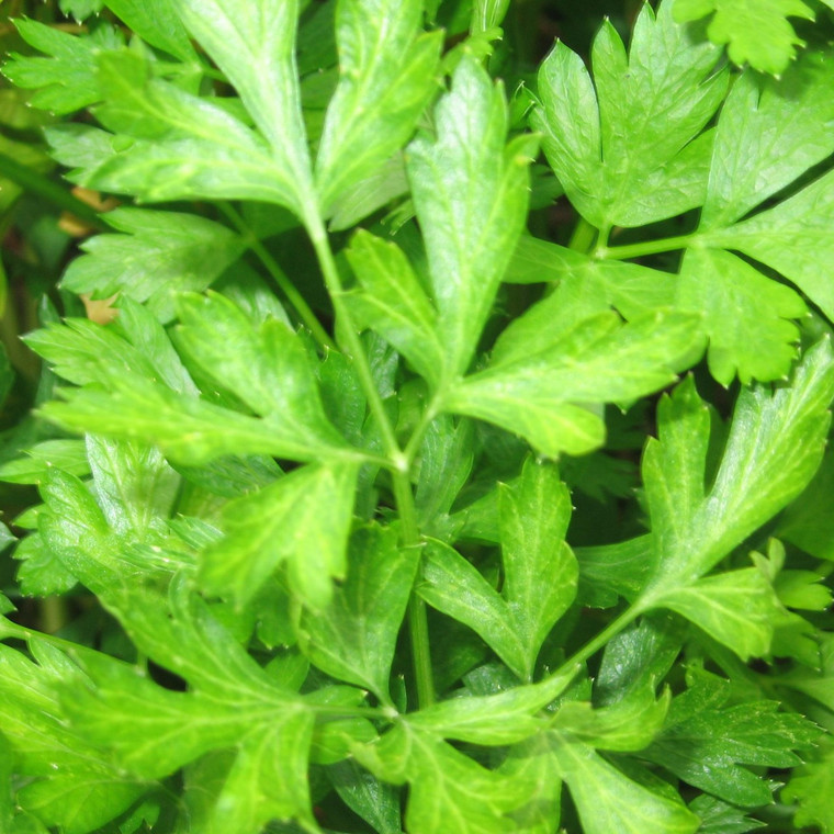 Buy Flat Leaf Parsley   Petroselinum crispum   Buy Herb Plants Online