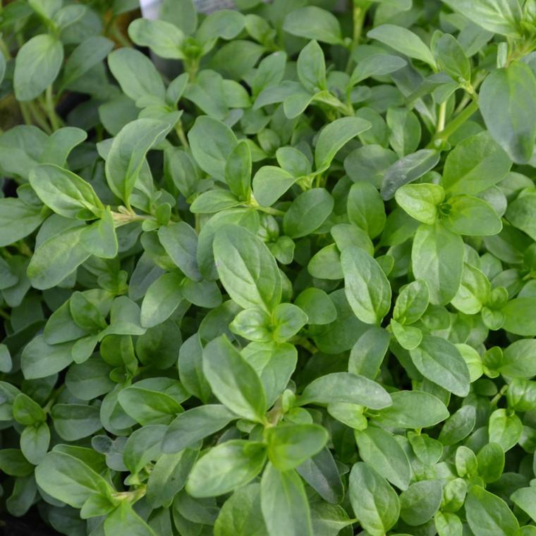 Buy Mentha pulegium 'Upright', Pennyroyal Upright | Herb Plant for Sale in 9cm Pot