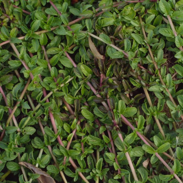 Buy Mentha pulegium , Pennyroyal Creeping   Herb Plant for Sale in 9cm Pot