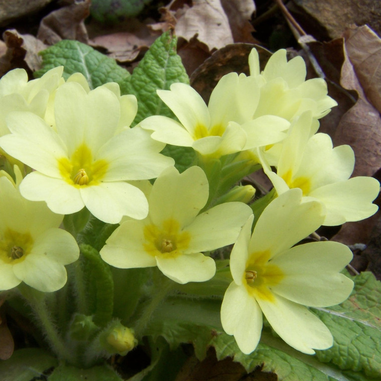 Buy Primula vulgaris 'Primrose'   Buy Herb Plant Online in 9cm Pot