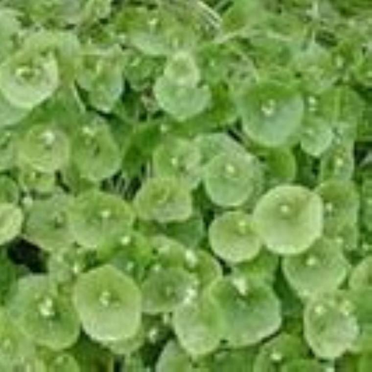 Buy Claytonia perfoliata 'Purslane' | Herb Seeds for Sale