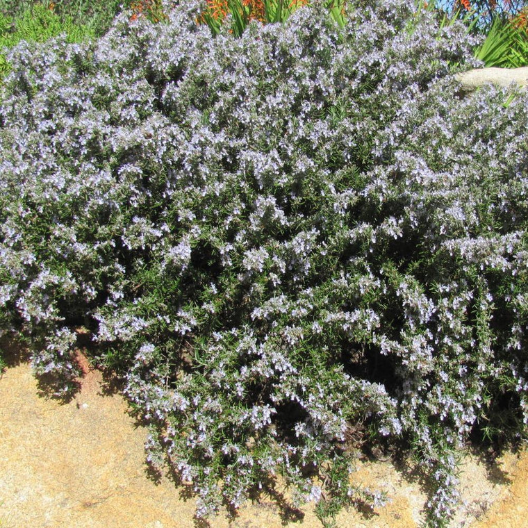 Buy Rosmarinus officinalis 'Prostratus Group' Rosemary Prostrate | Herb Plant for Sale in 1 Litre Pot
