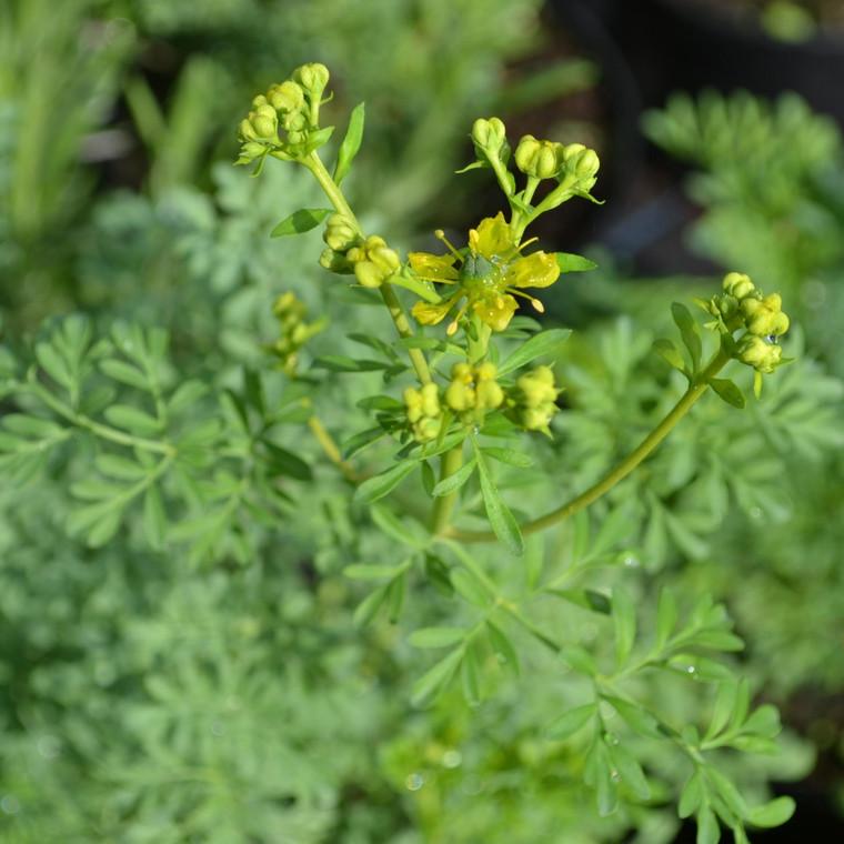 Buy Ruta graveolens 'Rue' | Buy Herb Plant Online in 1 Litre Pot
