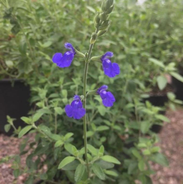 Salvia chamaedryoides (Sage Germander) Herb Plant  Buy Herb Plant Online