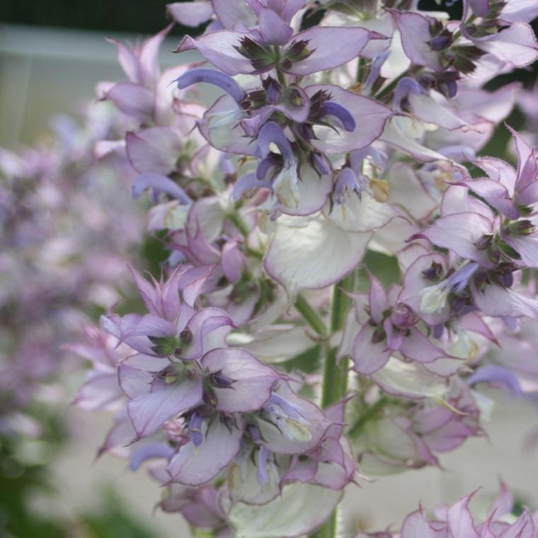 Buy Salvia sclarea 'Sage Clary'   Buy Herb Plant Online in 1 Litre Pot