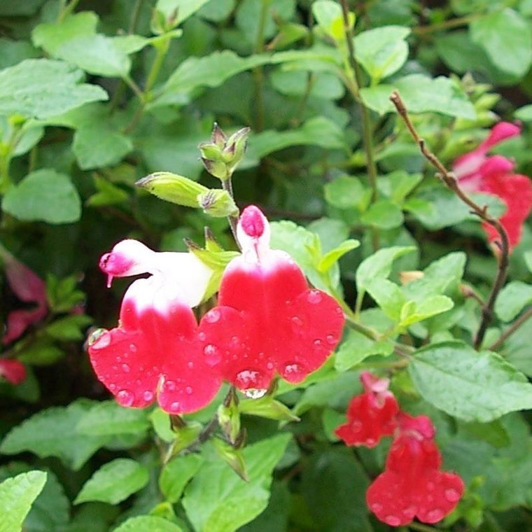 Buy Salvia x jamensis 'Hot Lips' Sage Hot Lips   Herb Plant for Sale in 1 Litre Pot