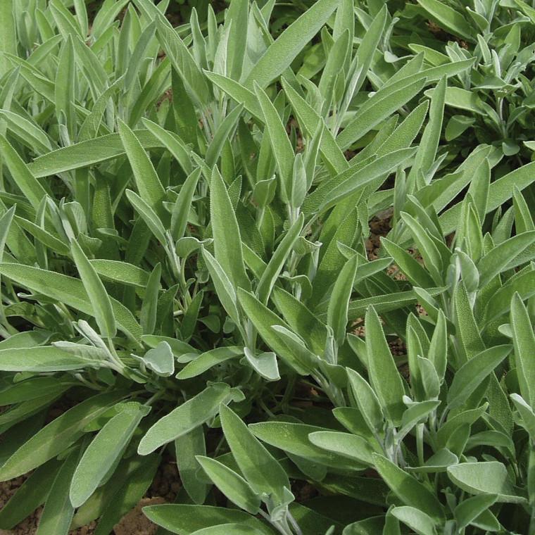 Buy Salvia lavandulifolia 'Sage Narrow-leaved' | Herb Plant for Sale in 1 Litre Pot