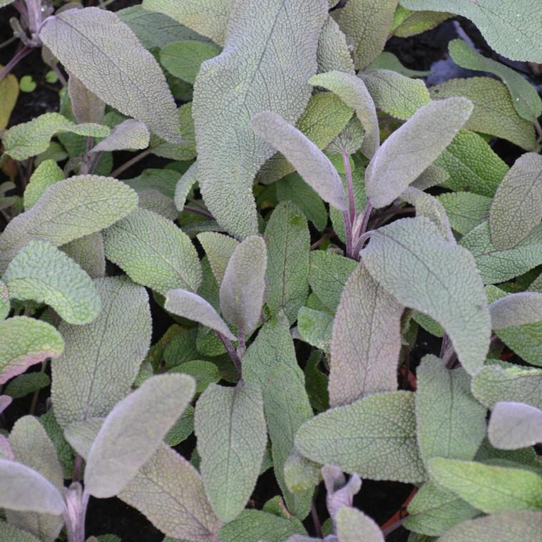 Buy Salvia officinalis 'Purpurascens' Sage Purple  Herb Plant for Sale in 9cm Pot