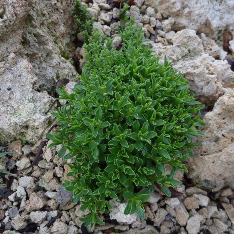 Buy Satureja spicigera 'Savory Creeping'   Herb Plant for Sale in 1 Litre Pot