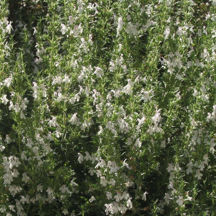 Buy Satureja montana 'Savory Winter'   Herb Plant for Sale in 1 Litre Pot