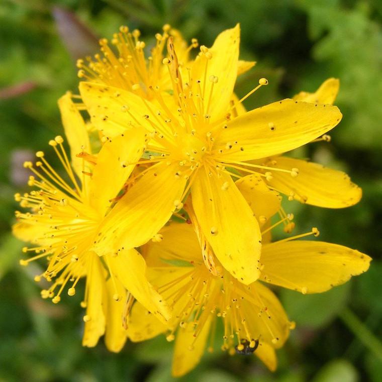 Buy Hypericum perforatum 'St. John's Wort'   Buy Herb Plant Online in 1 Litre Pot