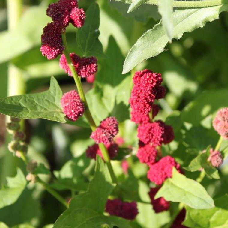 Buy Chenopodium capitatum 'Strawberry Spinach' | Buy Herb Plant Online in 9cm Pot