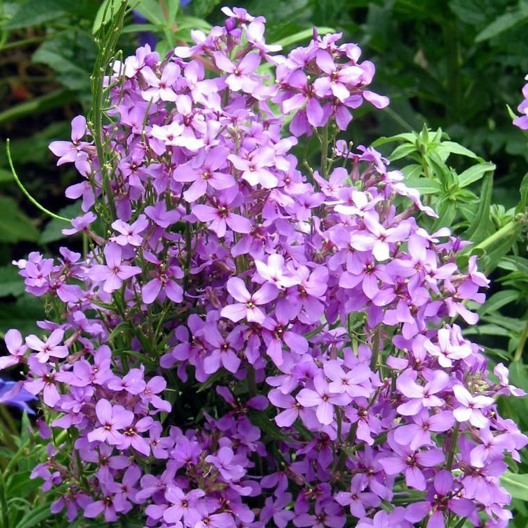 Buy Hesperis matronalis 'Purple' Sweet Rocket Purple   Buy Herb Plant Online in 1 Litre Pot