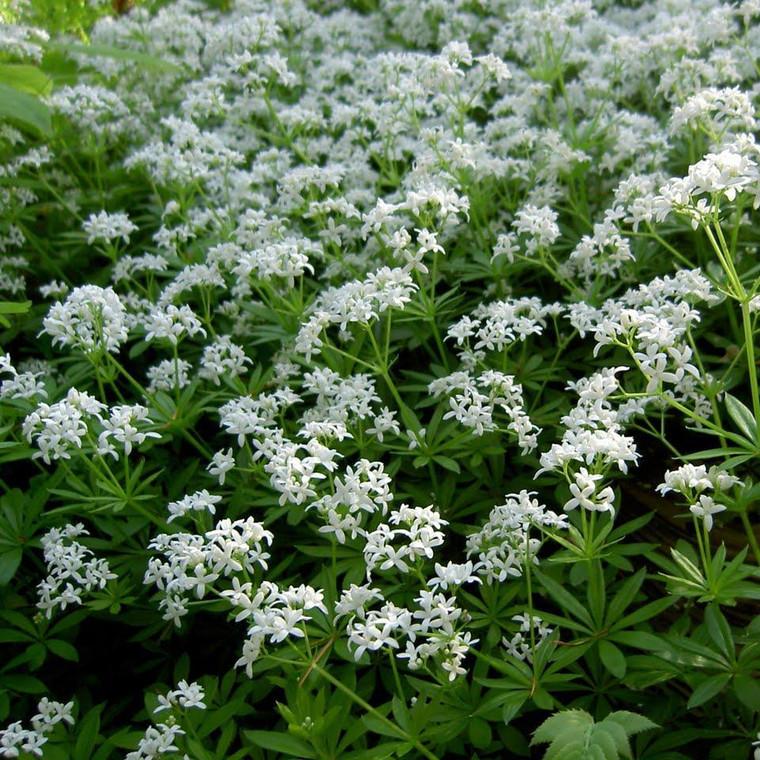Buy Galium odoratum 'Sweet Woodruff'   Herb Plant for Sale in 9cm Pot
