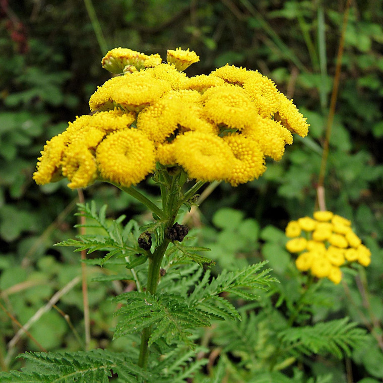 Buy Tanacetum vulgare 'Tansy'   Herb Plant for Sale in 1 Litre Pot
