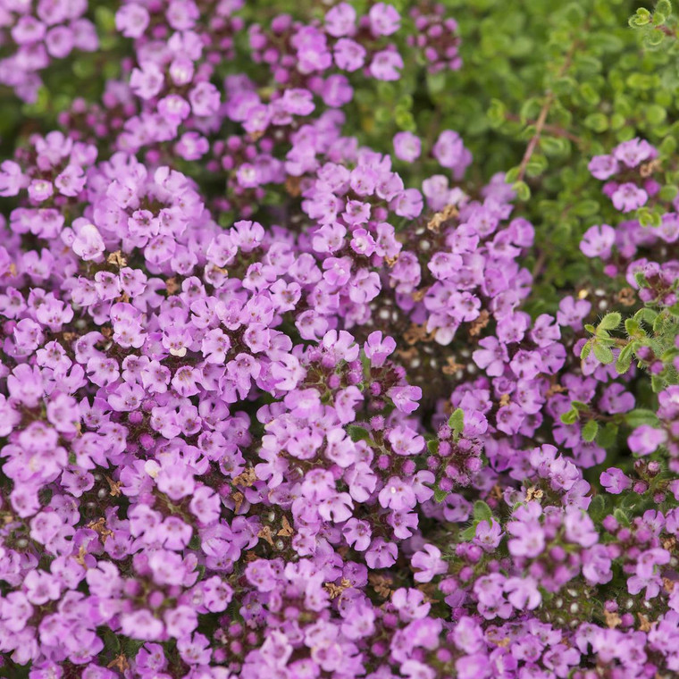 Buy Thymus doerfleri 'Bressingham Pink' Thyme Bressingham Pink | Buy Herb Plant Online in 9cm Pot