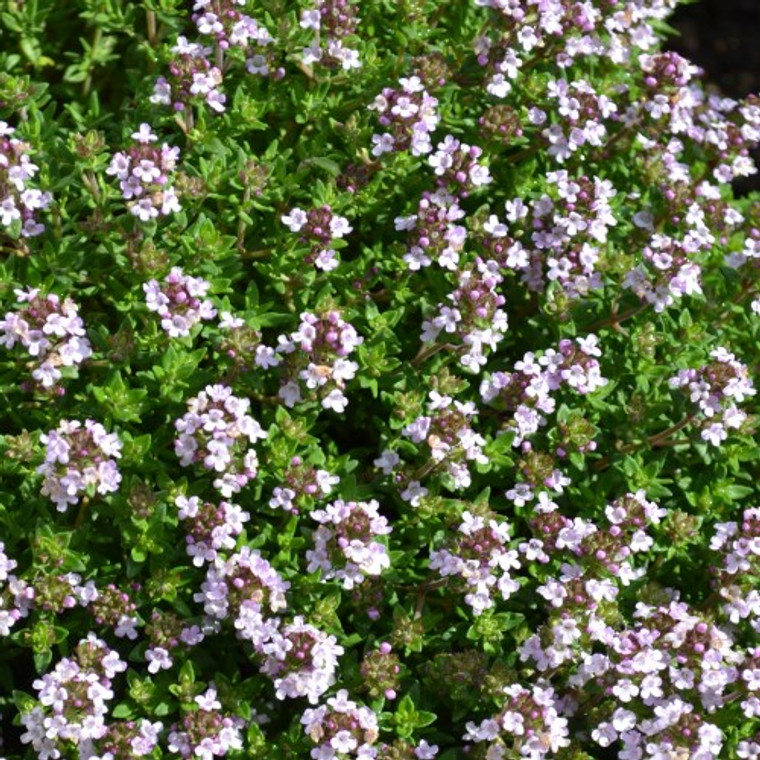 Buy Thymus vulgaris 'Compactus' Thyme Compact   Herb Plant for Sale in 9cm Pot