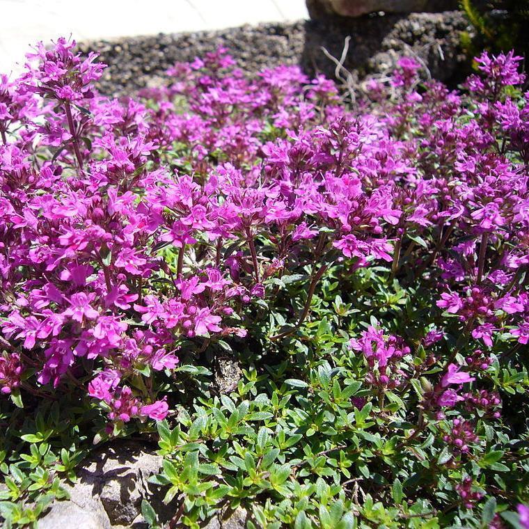 Buy Thymus serpyllum coccineus 'Thyme Creeping Red' | Buy Herb Plant Online in 9cm Pot