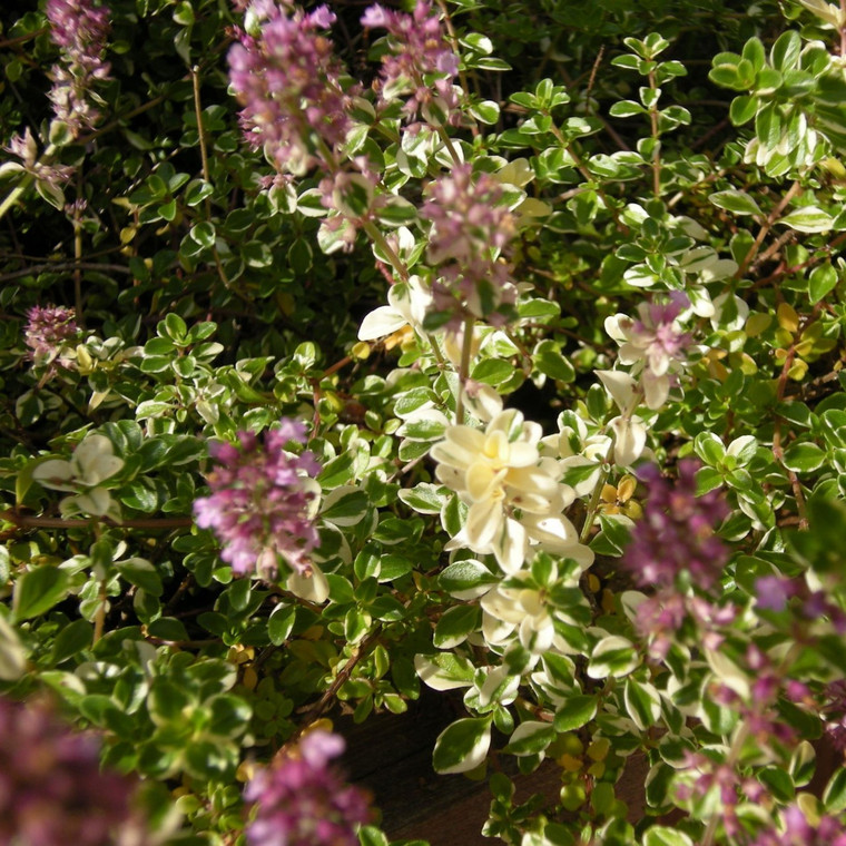 Buy Thymus pulegioides 'Foxley' Thyme Foxley   Herb Plant for Sale in 9cm Pot