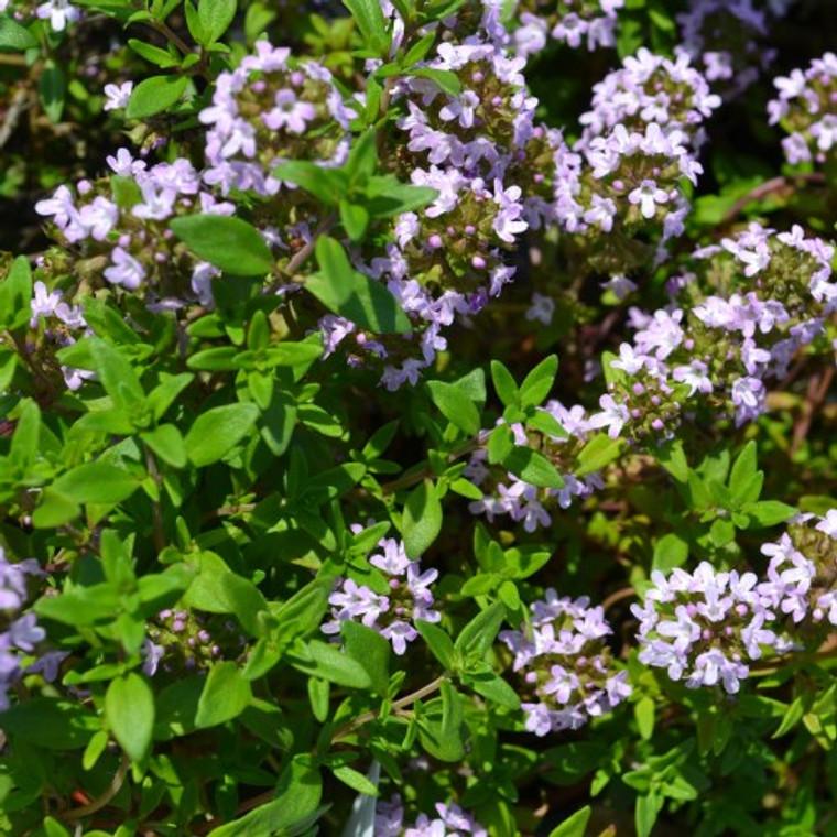 Buy Iden Thyme (Thymus serpyllium 'Iden') | Herb Plants for Sale