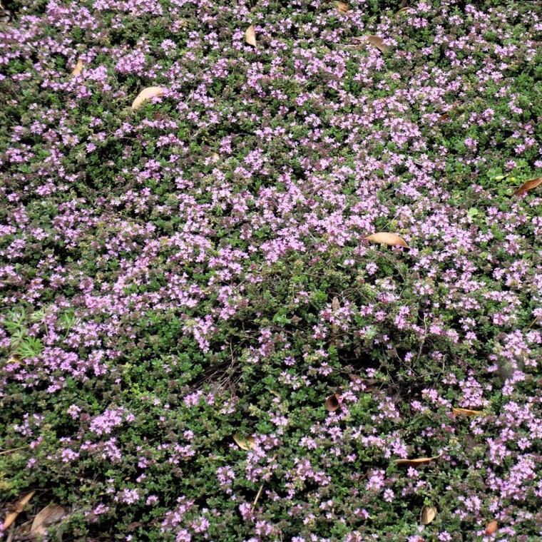 Buy Thymus serpyllum 'Pink Chintz' Thyme Pink Chintz | Herb Plant for Sale in 9cm Pot