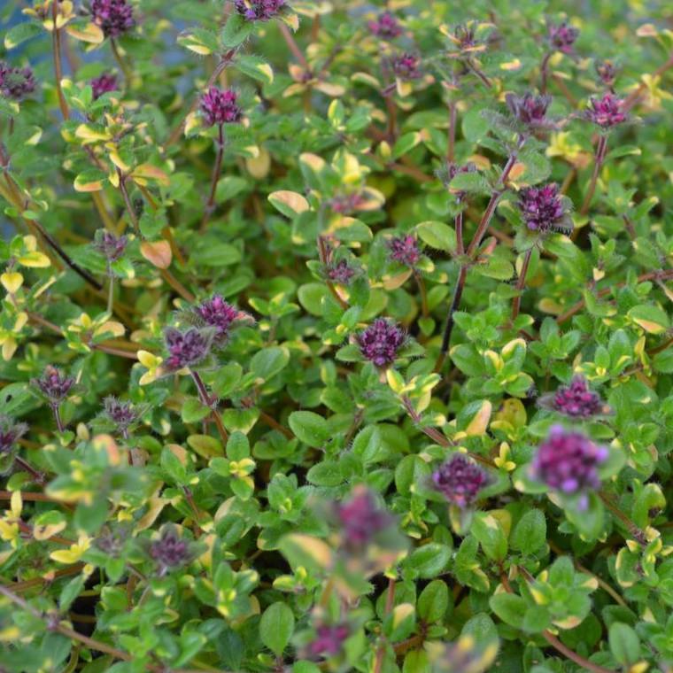 Buy Thymus serpyllum 'Rainbow Falls' Thyme Rainbow Falls   Herb Plant for Sale in 9cm Pot