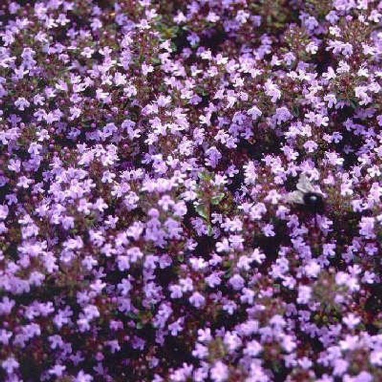 Buy Thymus serpyllum 'Russetings' Thyme Russettings   Herb Plant for Sale in 9cm Pot