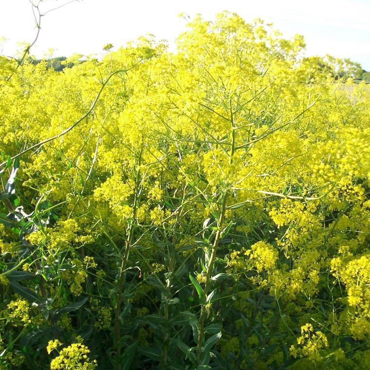 Buy Isatis tinctoria 'Woad' | Herb Plant for Sale in 1 Litre Pot