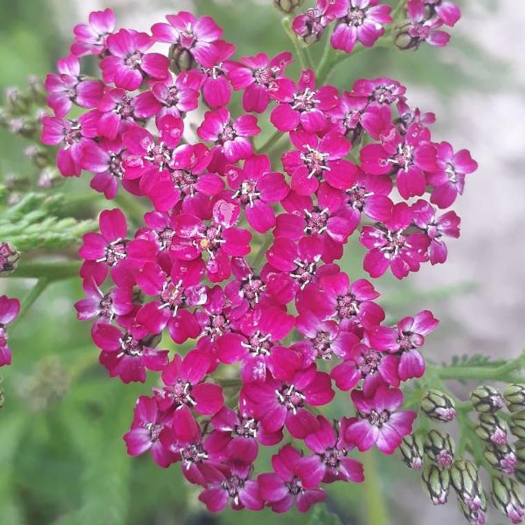 Achillea millefolium 'Cerise Queen'  Yarrow 'Cerise Queen'  Herb Plant for sale in 1 Litre pot