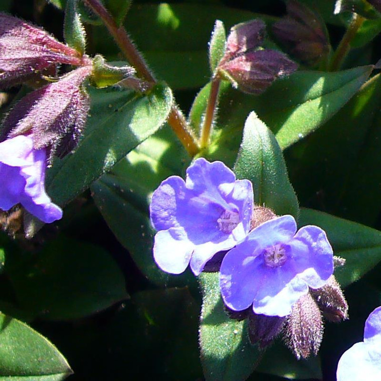 Buy Pulmonaria 'Blue Ensign' Lungwort, Blue Ensign   Potted Herb Plant   Hooksgreen Herbs