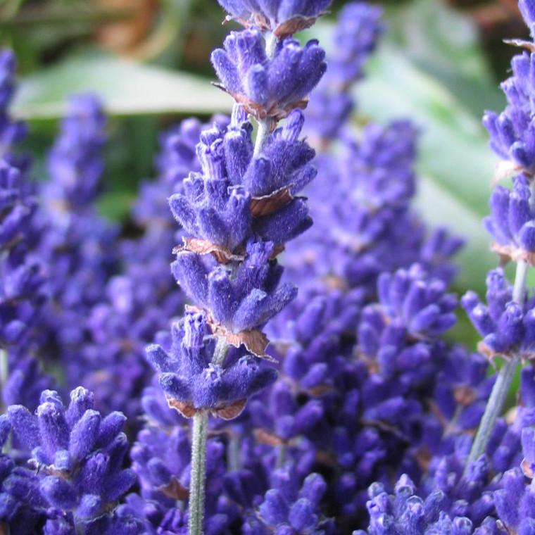 Buy Lavandula angustifolia 'Cedar Blue' Lavender, Cedar Blue | Herb Plant for Sale in 9cm Pot