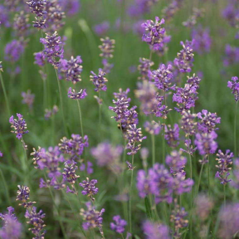 Buy Lavandula x intermedia 'Fragrant Memories' Lavender, Fragrant Memories | Herb Plant for Sale in 9cm Pot