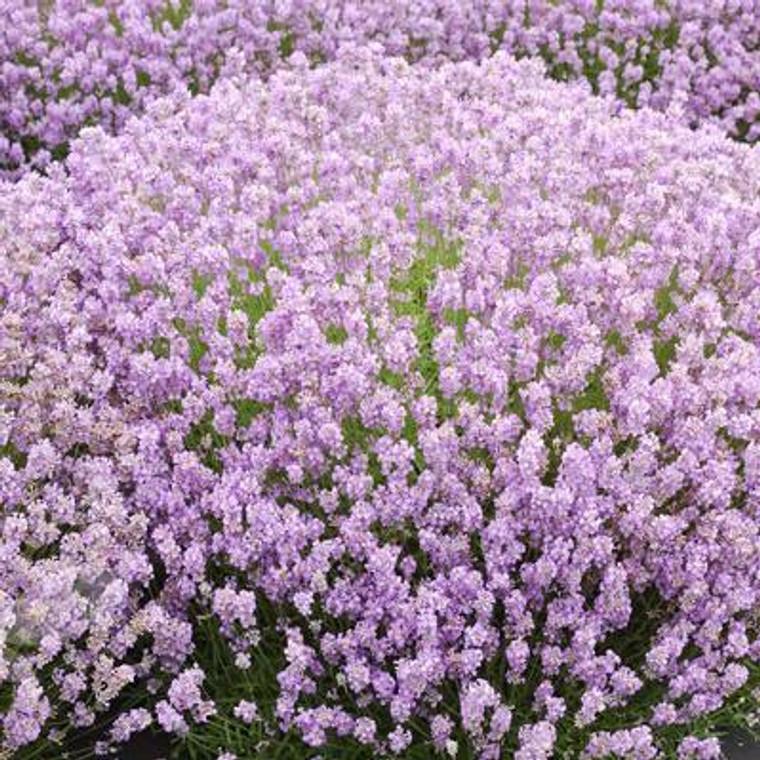 Buy Lavandula angustifolia 'Hidcote Pink'. Lavender Hidcote Pink | Herb Plant for Sale in 9cm Pot