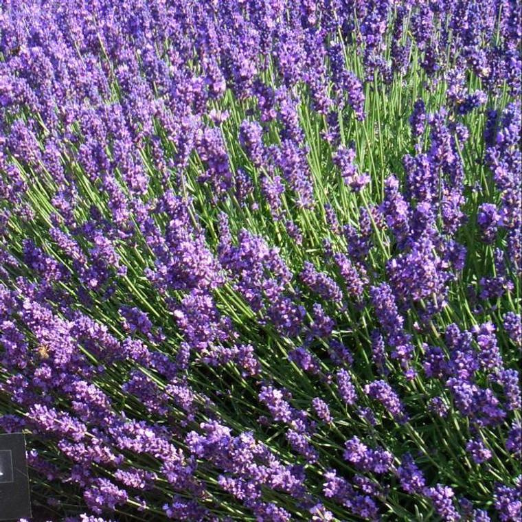 Buy Lavandula angustifolia 'Imperial Gem' Lavender 'Imperial Gem'   Herb Plant for Sale in 9cm Pot