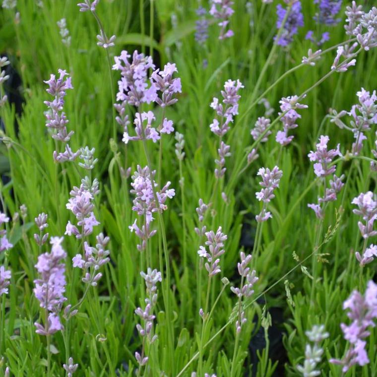 Buy Lavandula angustifolia 'Jean Davis' Lavender Jean Davis   Herb Plant for Sale in 9cm Pot