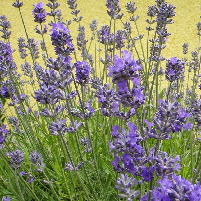 Buy Lavandula angustifolia 'Lady' Lavender Lady | Herb Plant for Sale in 9cm Pot