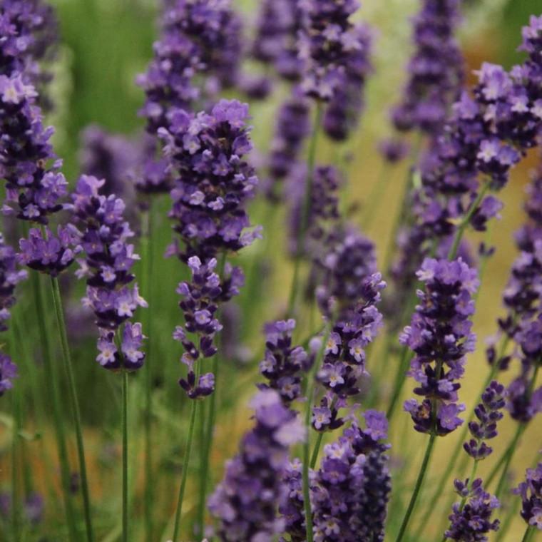 Buy Lavandula angustifolia 'Loddon Blue' Lavender Loddon Blue   Herb Plant for Sale in 9cm Pot