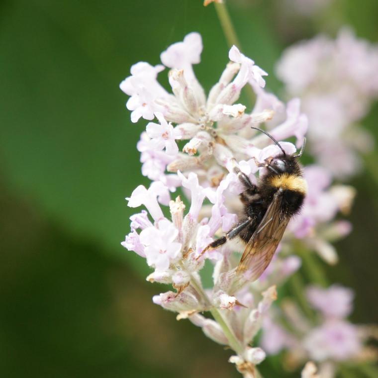 Buy Lavandula angustifolia 'Loddon Pink' Lavender Loddon Pink | Herb Plant for Sale in 9cm Pot