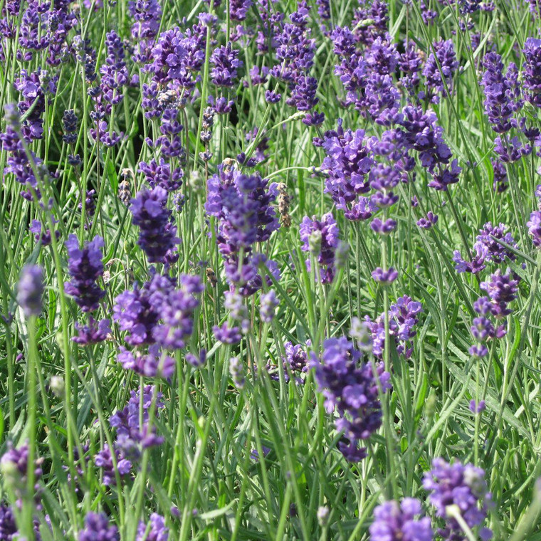Buy Lavandula angustifolia 'Munstead' Lavender Munstead   Herb Plant for Sale in 9cm Pot