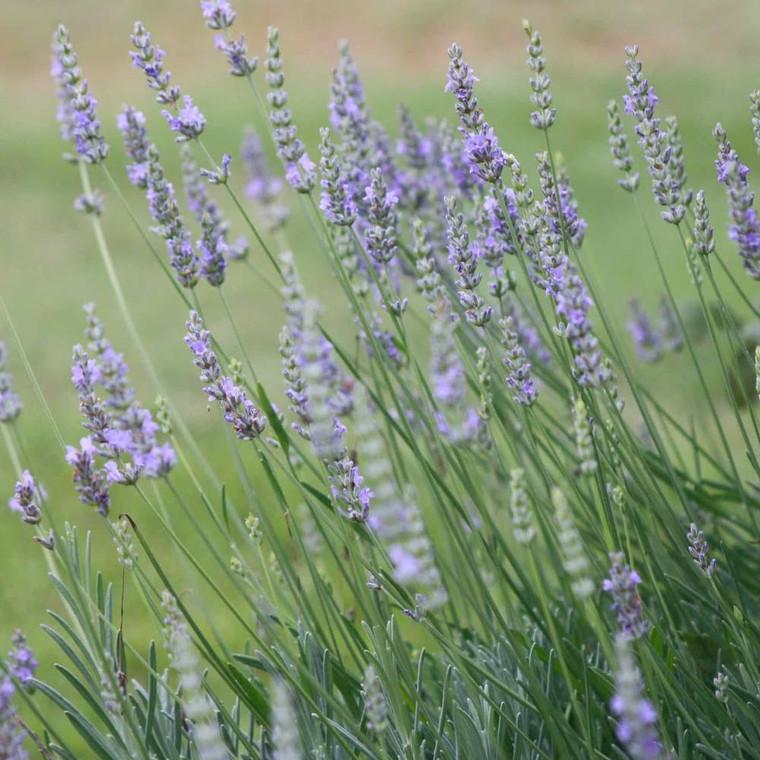 Buy Lavandula angustfolia 'Royal Purple' Lavender Royal Purple | Herb Plant for Sale in 9cm Pot