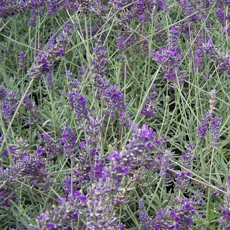 Buy Lavandula x chaytoriae 'Sawyers' Lavender Sawyers | Herb Plant for Sale in 9cm Pot