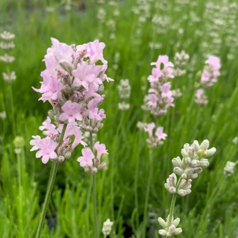 Lavandula angustifolia 'Little Lottie' (Lavender 'Little Lottie')   Herb Plant for sale in 1 Litre Pot