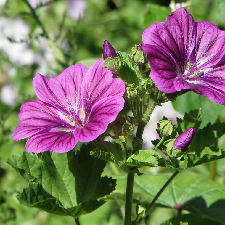 Buy Malva sylvestris 'Mauritiana', Mauritiana | Herb Plant for Sale in 1 Litre Pot