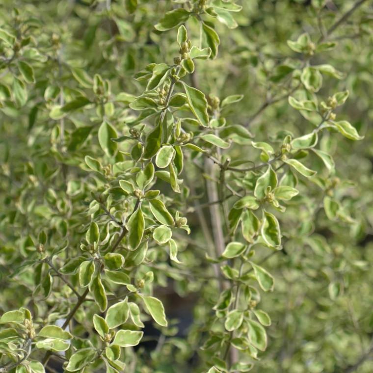 Buy Prostanthera rotundifolia Australian Mint Bush | Herb Plant for Sale in 1 Litre Pot