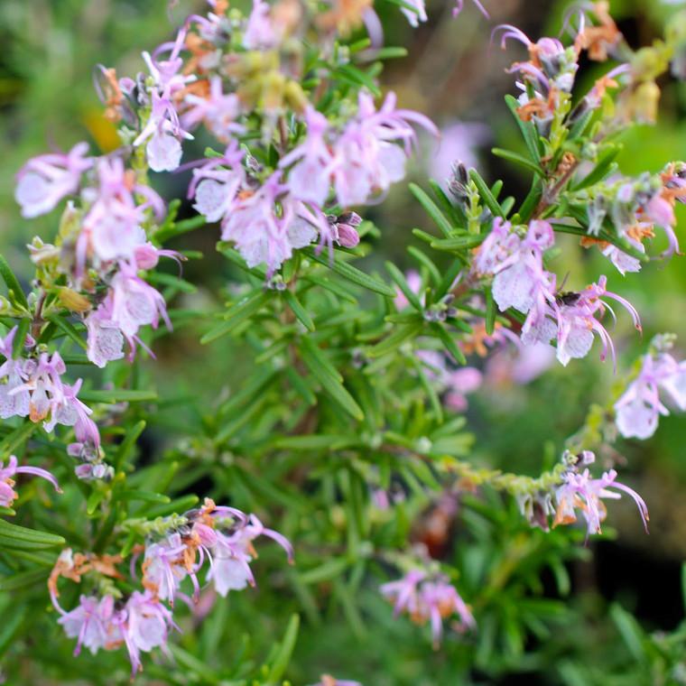 Buy Rosmarinus officinalis 'Roseus', Rosemary, Rose/Pink | Herb Plant for Sale in 1 Litre Pot