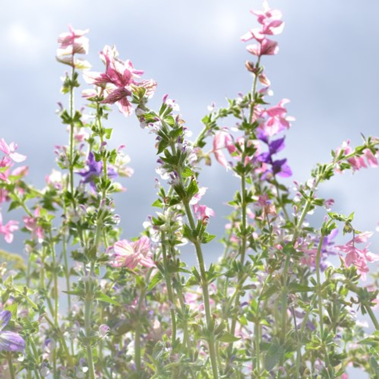 Buy Salvia viridis 'Sage Painted' | Herb Seeds for Sale
